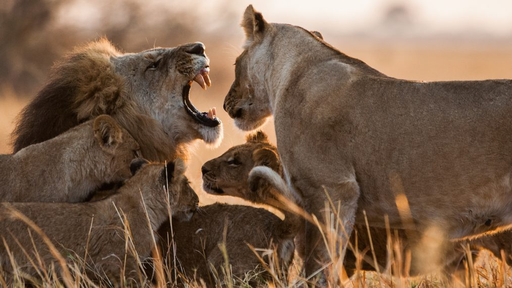 'Savage Kingdom: Uprising': Nat Geo Wild's Cool—and Killer—Cats Return Ahead of Big Cat Week