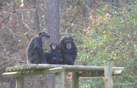 Meet the Chimps Disney+