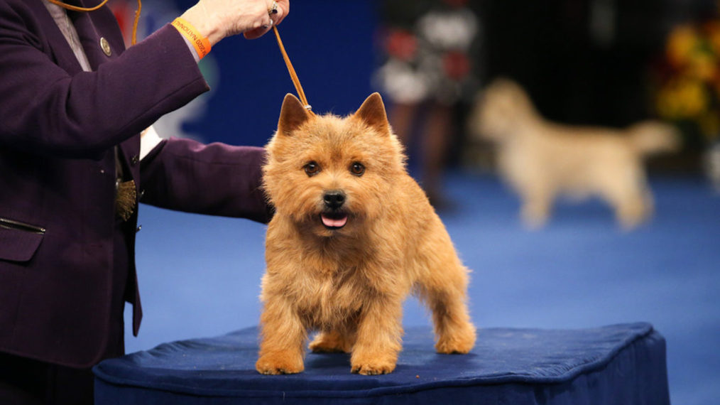 The National Dog Show 2020 Norwich Terrier