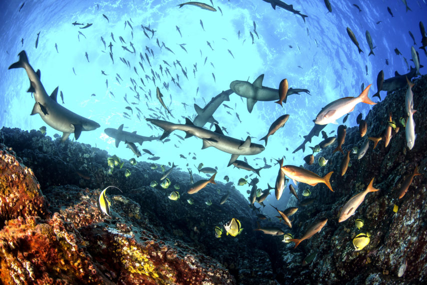 Whitetip Reef Sharks Sharkfest National Geographic Pacific Creolefish